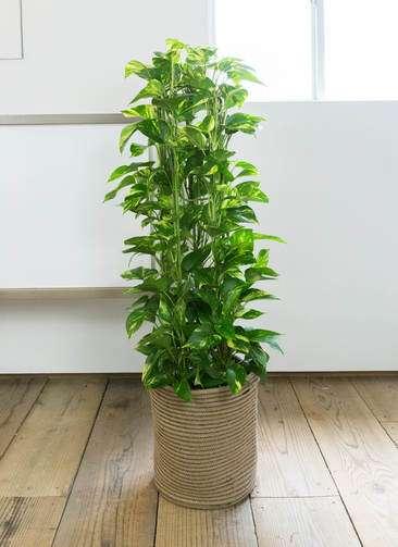 観葉植物 ポトス 8号 リブバスケットNatural 付き