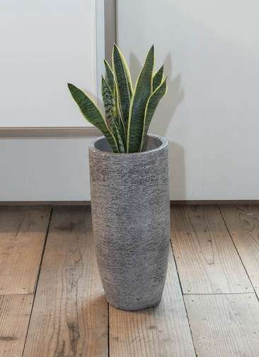 観葉植物 サンスベリア 6号 エコストーントールタイプ Gray 付き