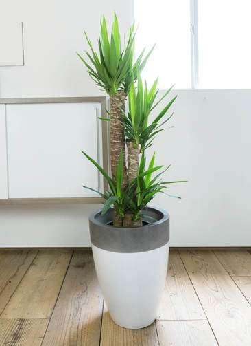 観葉植物 ユッカ 8号 ノーマル ファイバーストーン カプリ 白 付き