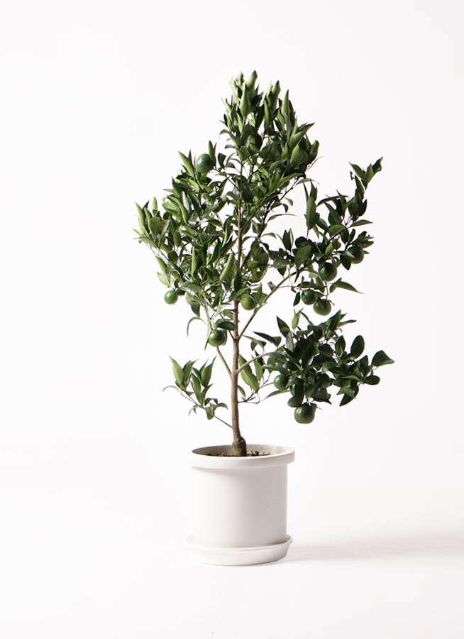 果樹 ぽんかん (ポンカン)の木 8号 プラスチック鉢