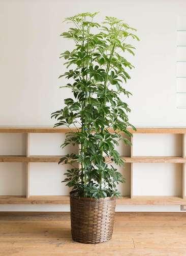 観葉植物 カポック(シェフレラ) 10号 竹バスケット 付き