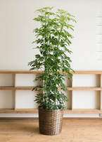 観葉植物 カポック(シェフレラ) 10号 カゴ付き