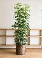 観葉植物 カポック(シェフレラ) 10号 ノーマル 竹バスケット 付き