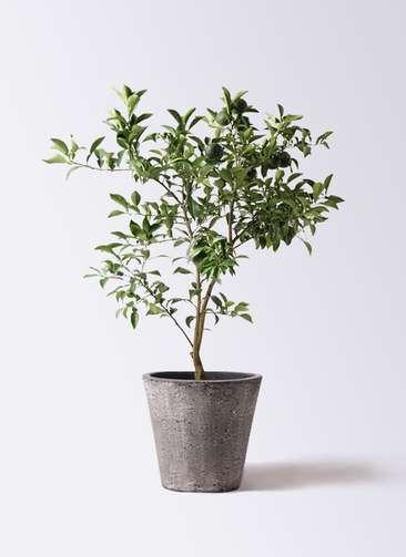 果樹 柚子 (ゆず)の木 8号 フォリオソリッド ブラックウォッシュ 付き