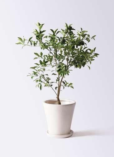 果樹 柚子 (ゆず)の木 8号 サブリナ 白 付き