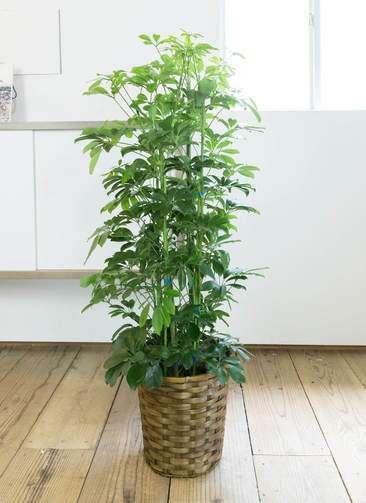 観葉植物 カポック(シェフレラ) 8号 カゴ付き