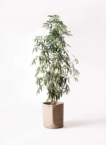 観葉植物 シェフレラ アンガスティフォリア 10号 ストレート リブバスケットNatural 付き