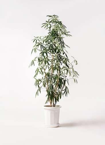 観葉植物 シェフレラ アンガスティフォリア 10号 ストレート プラスチック鉢