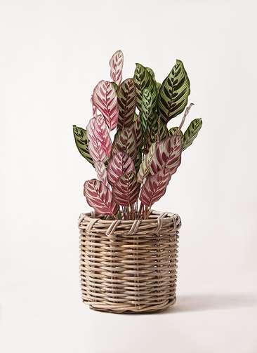 観葉植物 カラテア マコヤナ 6号 グレイラタン 付き