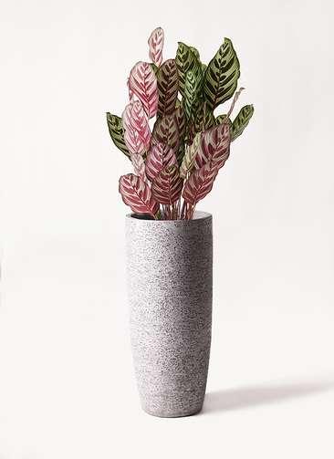 観葉植物 カラテア マコヤナ 6号 エコストーントールタイプ Gray 付き