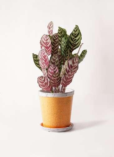 観葉植物 カラテア マコヤナ 6号 アンティークテラコッタOrange 付き