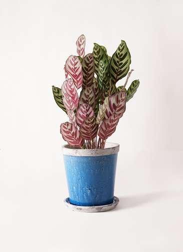 観葉植物 カラテア マコヤナ 6号 アンティークテラコッタBlue 付き