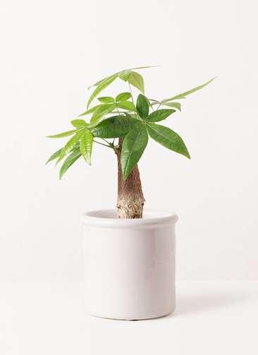 観葉植物 パキラ 4号 朴 アンティークテラコッタ ホワイト 付き