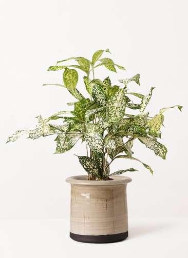 観葉植物 ドラセナ ゴッドセフィアーナ 4号 アンティークテラコッタ グレイ 付き