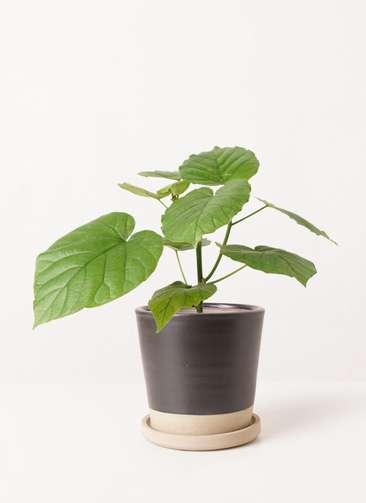観葉植物 フィカス ウンベラータ 4号 ノーマル マット グレーズ テラコッタ ブラック 付き