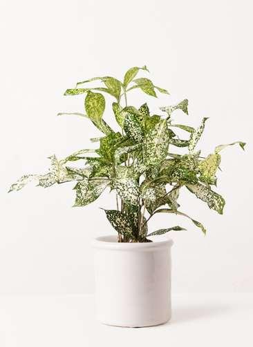 観葉植物 ドラセナ ゴッドセフィアーナ 4号 アンティークテラコッタ ホワイト 付き