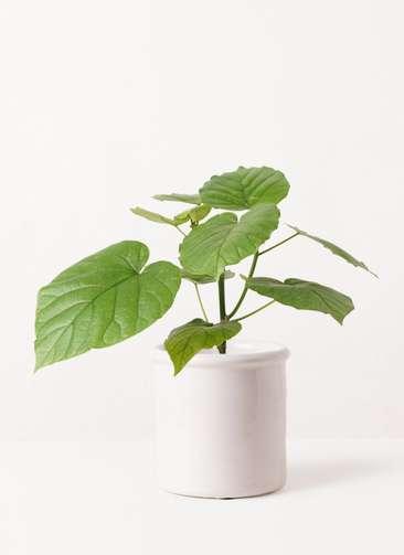観葉植物 フィカス ウンベラータ 4号 ノーマル アンティークテラコッタ ホワイト 付き