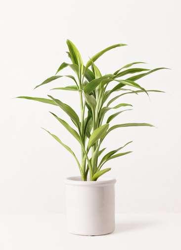 観葉植物 ドラセナ サンデリアーナ ゴールド 4号 アンティークテラコッタ ホワイト 付き
