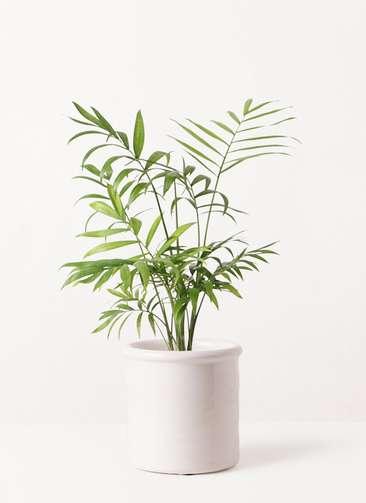 観葉植物 テーブルヤシ 4号 アンティークテラコッタ ホワイト 付き