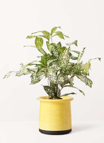 観葉植物 ドラセナ ゴッドセフィアーナ 4号 アンティークテラコッタ イエロー 付き