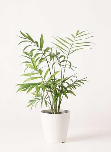 観葉植物 テーブルヤシ 4号 プラスチック鉢
