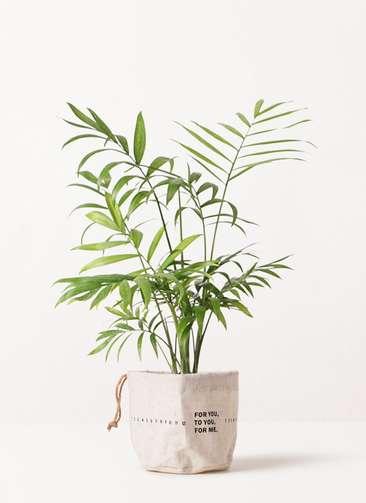 観葉植物 テーブルヤシ 4号 ラップサック 付き