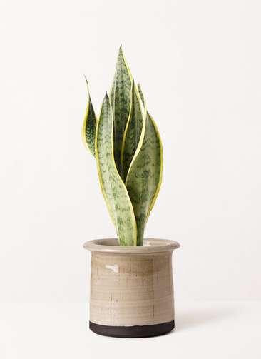 観葉植物 サンスベリア 4号 トラノオ アンティークテラコッタ グレイ 付き