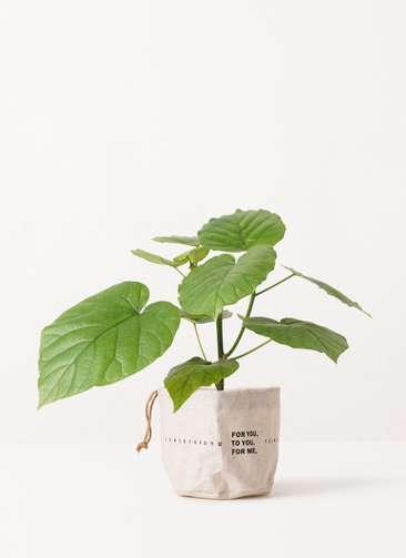 観葉植物 フィカス ウンベラータ 4号 ノーマル ラップサック 付き