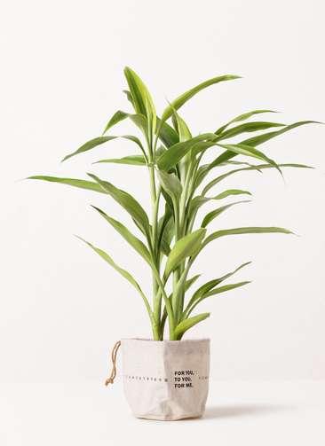 観葉植物 ドラセナ サンデリアーナ ゴールド 4号 ラップサック 付き