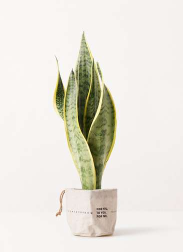 観葉植物 サンスベリア 4号 トラノオ ラップサック 付き