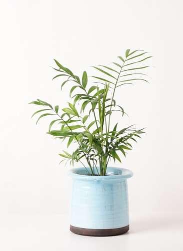 観葉植物 テーブルヤシ 4号 アンティークテラコッタ ブルー 付き