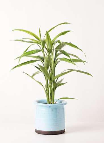 観葉植物 ドラセナ サンデリアーナ ゴールド 4号 アンティークテラコッタ ブルー 付き