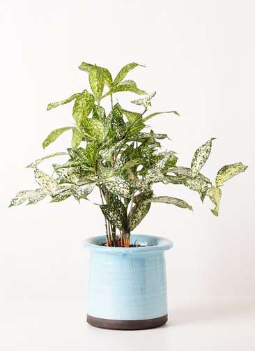観葉植物 ドラセナ ゴッドセフィアーナ 4号 アンティークテラコッタ ブルー 付き