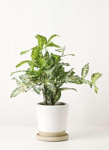 観葉植物 ドラセナ ゴッドセフィアーナ 4号 マット グレーズ テラコッタ ホワイト 付き