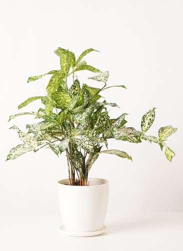 観葉植物 ドラセナ ゴッドセフィアーナ 4号 ラスターポット 付き