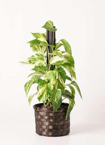 観葉植物 ポトス 4号 竹バスケット 付き