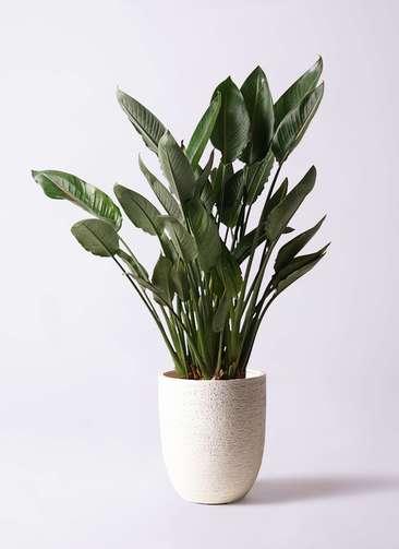 観葉植物 ストレリチア (ストレチア) レギネ 10号 ビアスアルトエッグ 白 付き
