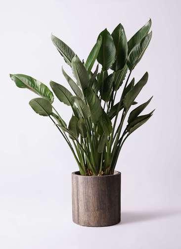 観葉植物 ストレリチア (ストレチア) レギネ 10号 アルファシリンダープランター 付き