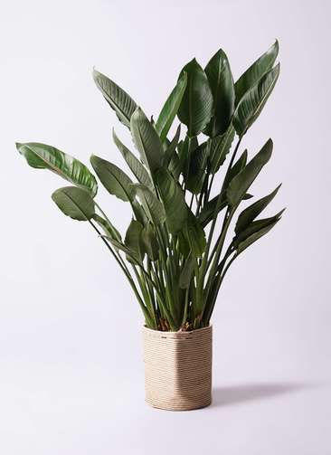 観葉植物 ストレリチア (ストレチア) レギネ 10号 リブバスケットNatural 付き