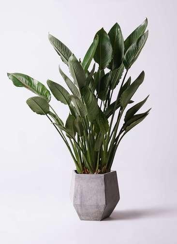 観葉植物 ストレリチア (ストレチア) レギネ 10号 ファイバークレイGray 付き