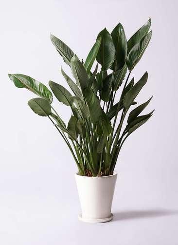 観葉植物 ストレリチア (ストレチア) レギネ 10号 サブリナ 白 付き