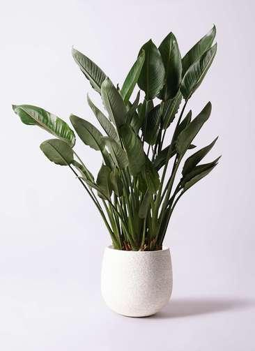 観葉植物 ストレリチア (ストレチア) レギネ 10号 エコストーンwhite 付き