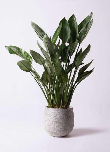 観葉植物 ストレリチア (ストレチア) レギネ 10号 エコストーンGray 付き