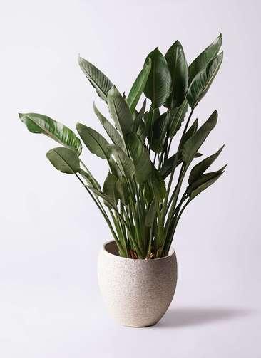 観葉植物 ストレリチア (ストレチア) レギネ 10号 エコストーンLight Gray 付き