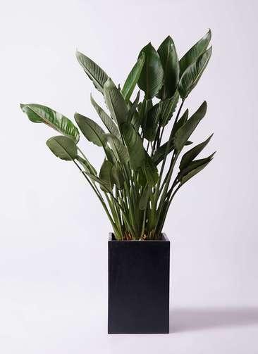 観葉植物 ストレリチア (ストレチア) レギネ 10号 セドナロング 墨 付き