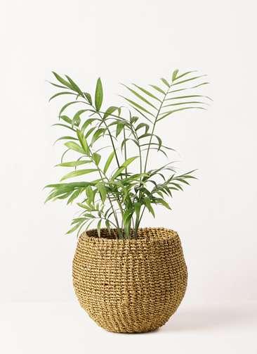 観葉植物 テーブルヤシ 4号 アバカバスケット オリーブ 付き