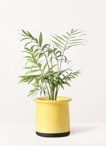 観葉植物 テーブルヤシ 4号 アンティークテラコッタ イエロー 付き
