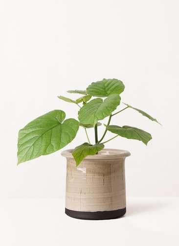 観葉植物 フィカス ウンベラータ 4号 ノーマル アンティークテラコッタ グレイ 付き