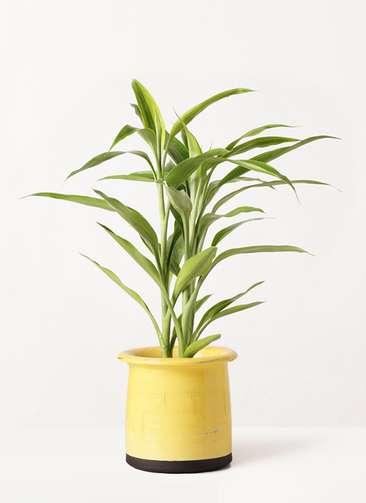 観葉植物 ドラセナ サンデリアーナ ゴールド 4号 アンティークテラコッタ イエロー 付き