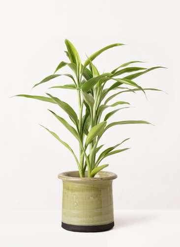 観葉植物 ドラセナ サンデリアーナ ゴールド 4号 アンティークテラコッタ グリーン 付き